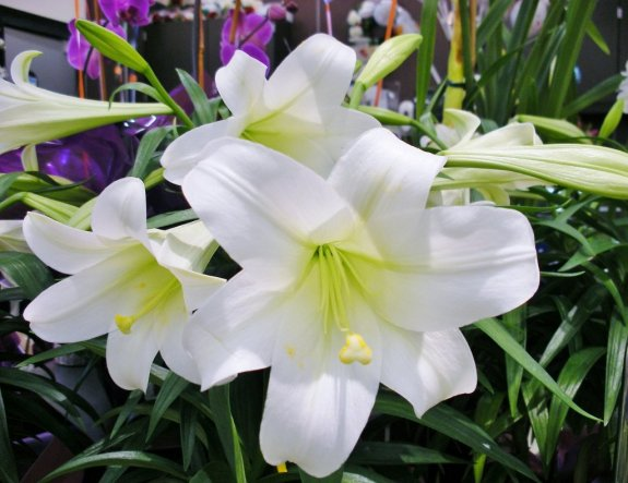 Easter-lily-1024x7902
